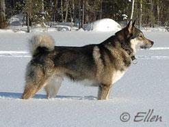 East Siberian Laika
