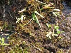 Foto 8. Detalle del herbivorismo sobre hojas, tallos y rizomas.