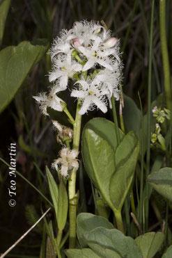 Foto 6. Inflorescencia del trébol de agua con detalle de la vistosidad de las flores.