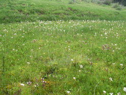 Foto 3. Floración del trébol de agua.