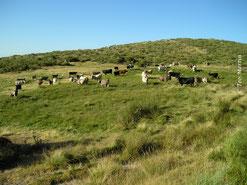 Foto 7. Factores de amenaza: el herbivorismo del ganado vacuno.