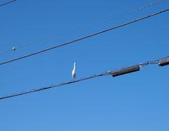 ●続いて、電線にとまるサギを発見!