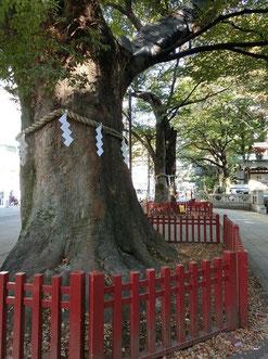 ●ケヤキ並木のつきあたりが大國魂神社です。入口には、ケヤキの大木の御神木があります