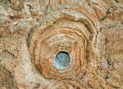 fossile arbre