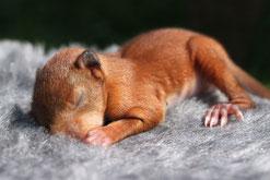 red quirrel baby Eichhörnchenbaby Eichhörnchenjunge