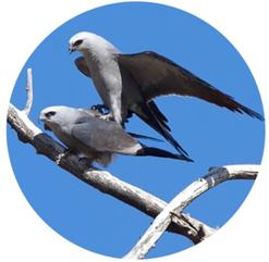 parende vogels