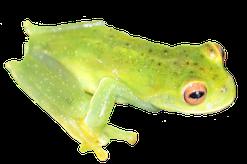 Hyloscirtus phyllognatus, Casanare, Foto Andrés Acosta