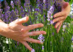 Lavendel, Lavendelbusch