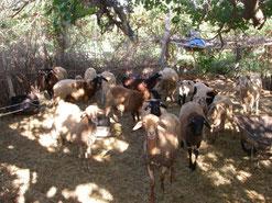 Elevage en Tunisie