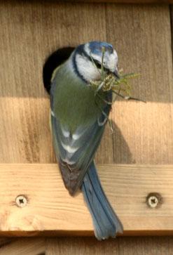Blaumeise am Nistkasten (Foto: B. Röttering)