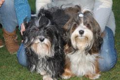 Wurfplanung Havaneser 2016, Allergiker geeignete Hunderasse,  Zuchtstätte Bichon Havanais
