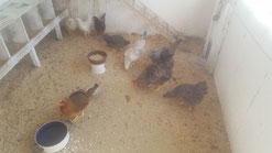 Hühnerleben
