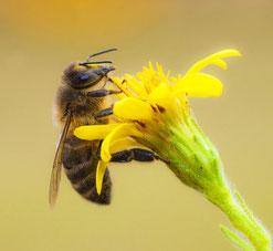Rettet die Bienen - verwendet ungebeiztes Saatgut