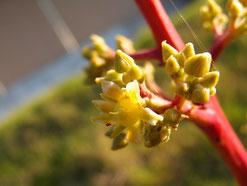 マンゴー 両性花