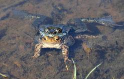 Seefrosch auf Erdkröte   © A-M.Kölbach