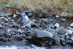 千歳川の水鳥