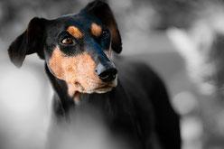 Apathie des spectateurs dans le cadre de violence animale
