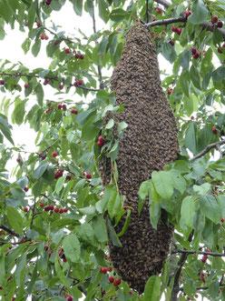 Großer Bienenschwarm im Kirschbaum (Foto: K. Dufner)