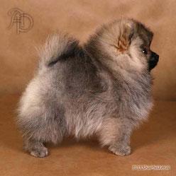 шпиц щенок фото