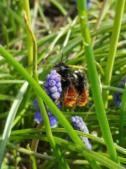 Wildbienenaktivitäten bei den ersten Frühlingssonnenstrahlen
