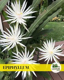 EPIPHYLLUM EN TENERIFE