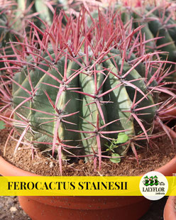FEROCACTUS STAINESII EN TENERIFE