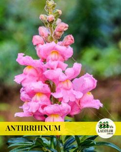 ANTIRRHINUM EN TENERIFE