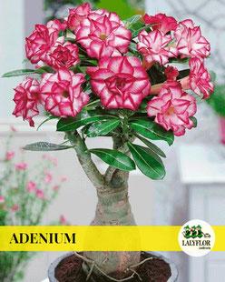 ADENIUM EN TENERIFE