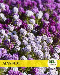 ALYSSUM EN TENERIFE