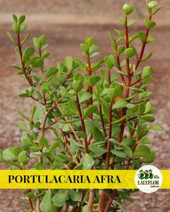 PORTULACA AFRA EN TENERIFE