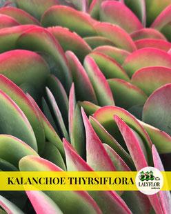 KALANCHOE THYRSIFLORA EN TENERIFE