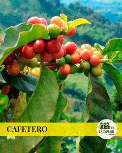 ARBOL CAFETERO EN TENERIFE
