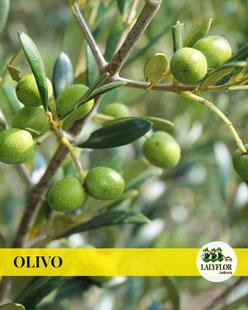 ARBOL FRUTAL OLIVO EN TENERIFE