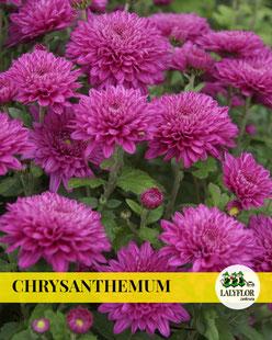 CHRYSANTHEMUM EN TENERIFE