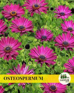 OSTEOSPERMUM EN TENERIFE