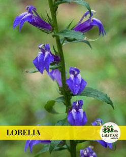 LOBELIAS EN TENERIFE
