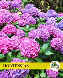 HORTENSIAS EN TENERIFE