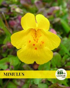 MIMULUS EN TENERIFE