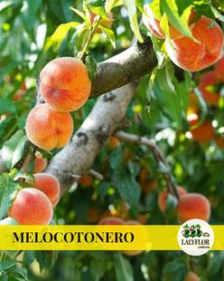 MELOCOTONERO EN TENERIFE