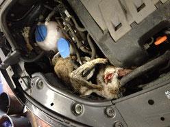 Marderbeute Motor Auto Hasen