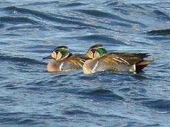 ・2011年1月22日 多々良沼  多々良沼を一周して、ようやく見つかった。