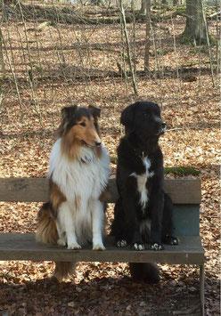 Dingo, Collie und Kimba, Mix aus germanischer Bärenhund/Landseer