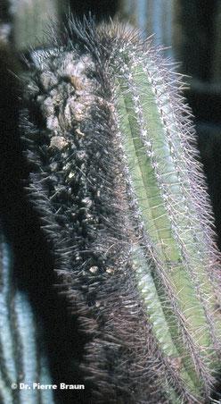 Coleocephalocereus diersianus, Holotypaufsammlung / plant of holotype collection / planta da coleção de holótipo