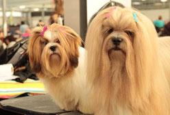 deux chiens lhassa apso marrons clairs sur une table en exposition canine par coach canin 16 educateur canin Jarnac Cognac angoulême