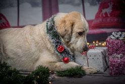 Un chien golden avec une guirlande grise de Noël et des boules de Noël rouges autour de son cou tient entre ses pattes un cadeau par coach canin 16 educateur canin en charente et charente maritime