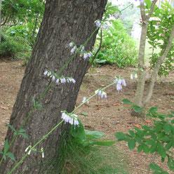 懐かしいツリガネニンジンの花も