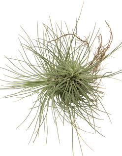 Tillandsia fuchsii var gracilis touffe