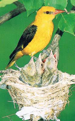 Ave Oropendola en el nido, en el parque natural de El carrascal de la Font Roja.