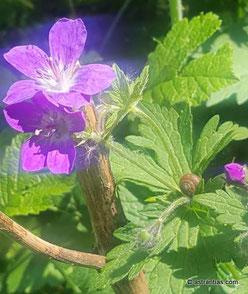 Geranium sylvaticum - Wald-Storchschnabel, Wildpflanze, Wildstaude, Waldstaude, Wildes Geranium