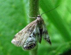 Wasserlinsenzünsler (Cataclysta lemnata)